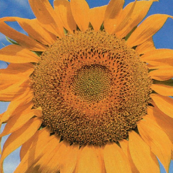 An image of SUNFLOWER Tall Single (organic)