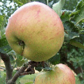 Apple Trees - Cooking Apples