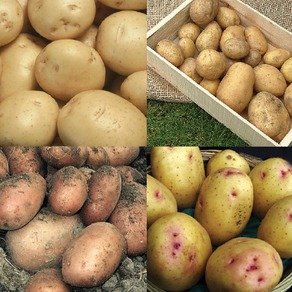 Seed Potato Collections