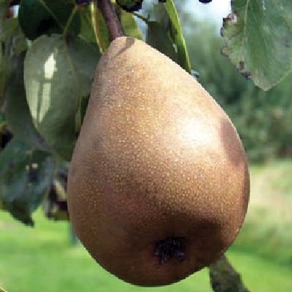 Pear and Quince Trees