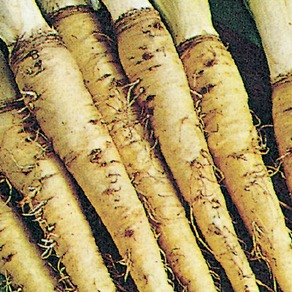 Salsify and Scorzonera