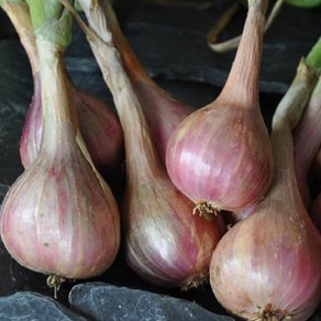 Onions, Shallots and Garlic