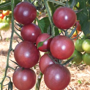 Tomatoes - Small