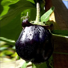 Grafted Aubergine Plants - Meatball (3 Super Plugs) (Organic)