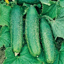 Cucumber Grafted Bush Champion (3)