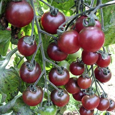 Grafted Tomato Plants - Rosella (3 Super Plugs) (Organic)