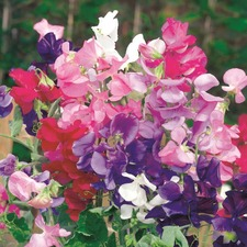 Sweet Pea Seeds - Jet Set