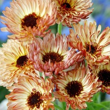 Calendula Touch of Red Buff