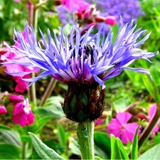 Mountain Cornflower Seeds - Montana (Non-organic)