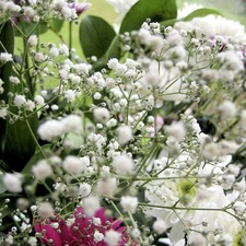 Gypsophila Seeds - Covent Garden Mixed (Non-organic)