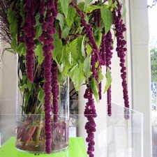 Amaranthus Seeds - Crimson Fountains Mix (Non Organic)
