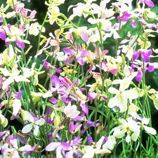 Night-Scented Stock Seeds - Bicornis
