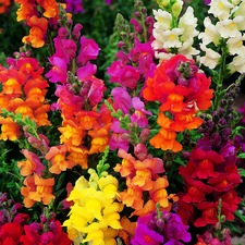 Antirrhinum Seeds - Dobies Giant-Flowered Mixed -