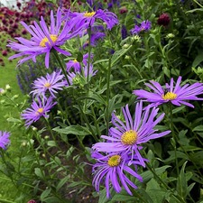 Aster Seeds - Madelaine (Non-organic)