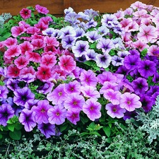 Petunia Seeds - Reflections Mixed F1 Twin Pack (Non Organic) 422429