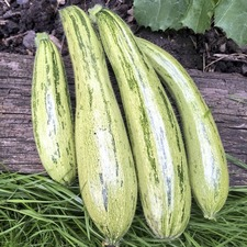 Courgette Seeds - Cocozelle (Non Organic)