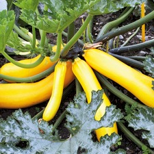 Courgette Seeds - Golden Zucchini (Organic) 780846