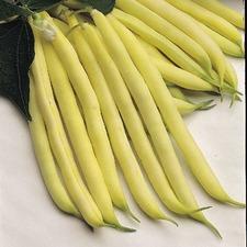 French Bean Orinoco - 10 Plants - Organic