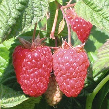Raspberry Plants - Cowichan (Low input)  784648