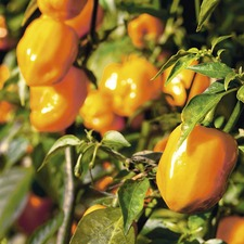 CHILLI PEPPER Orange Habanero - 3 PLANTS - ORGANIC