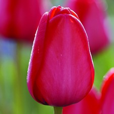 Tulip Bulbs - Red Impression (7)