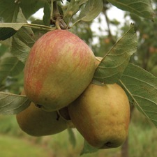 Apple Tree - Adam's Pearmain (Organic) (1826) Bare Root 783655