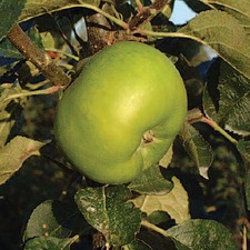 Apple (Cooking) Tree - Bramley (Organic) (1815) Bare Root 783656