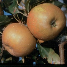 Apple Tree - Egremont Russet (Organic) (1872) Bare Root 783658