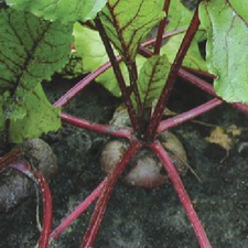 BEETROOT  Egyptian Turnip Rooted (organic) BEEG