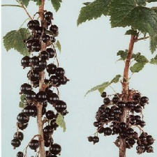 BLACKCURRANT Ben Connan, 3 plants (organic) BLCO3