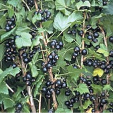 Blackcurrant Plant - Ben Gairn 1 Plant (Organic) (Very Early) 783641