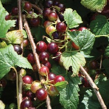 BLACKCURRANT Ben Hope, 1 plant (organic) BLHO