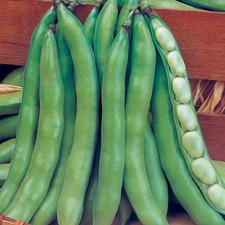 BROAD BEAN Super Aguadulce 45 seeds (organic) BBSU