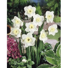 Narcissus Bulbs - Papillon blanc (5)
