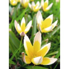 Tulip Bulbs - Tarda (5)