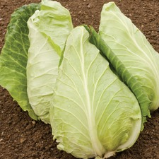 CABBAGE Eersterling (organic) CBEE