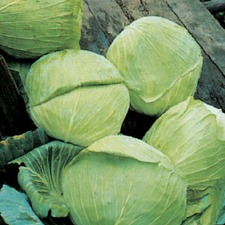 CABBAGE Golden Acre ORGANIC SAVER PACK