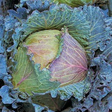 CABBAGE January King (non organic) CBJK