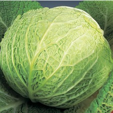 CABBAGE SAVOY Best of All (non organic) CBBA
