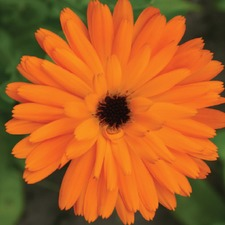 CALENDULA Touch of Red (organic) FCTR (781008)