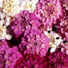CANDYTUFT Special Mix (non organic) FCAM