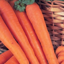 CARROT James Scarlet Intermediate, 15g pack (non organic) CRJS1