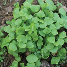 Autumn Planting WINTER PURSLANE Claytonia, 10 plants (organic) VCLA