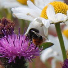 WILD FLOWER MIX Conservation Bumblebee (non organic) WIBB