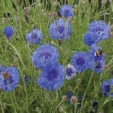 CORNFLOWER Double Blue (organic) FCDO