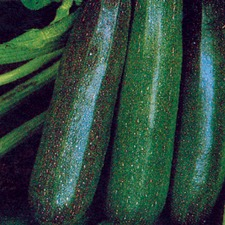 COURGETTE Black Beauty (organic) COBB