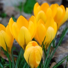 Crocus Bulbs - Yellow (10)
