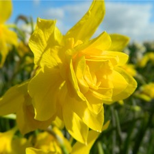 NARCISSUS Double Campernelle, 10 bulbs (organic) BDCA1