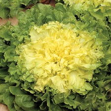 ENDIVE Blonde Full Heart (organic) ENBF