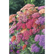 Achillea Seeds - Summer Berries (Non Organic) 424020